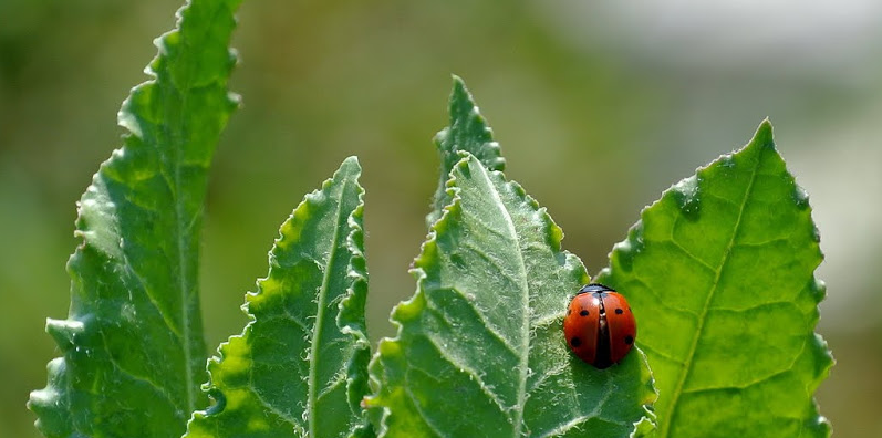 coccinelle-.png